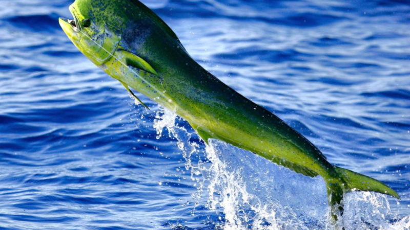 Catching Mahi-Mahi: Everything You Need To Know